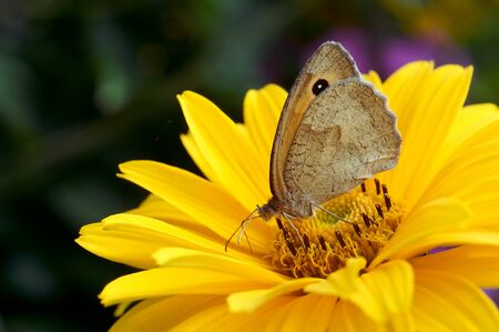 small heath drink nectar from flower
