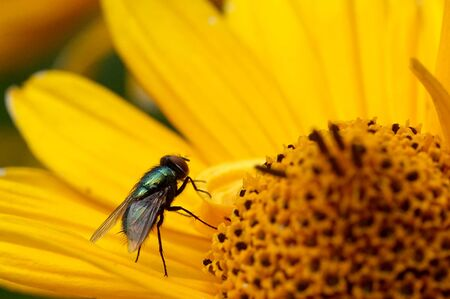 Green, shiny fly on a yellow flower