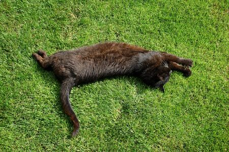 An old, black, lazy cat sleeps on the lawn in front of the house on a sunny summer day