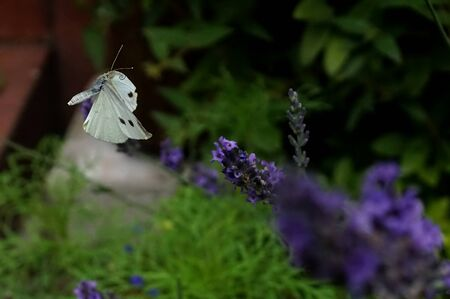 White butterfly in flight over a garden lavender Stock Photo