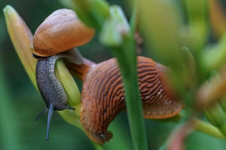 Two snails on the day lily branch in the garden after summer rain Reklamní fotografie