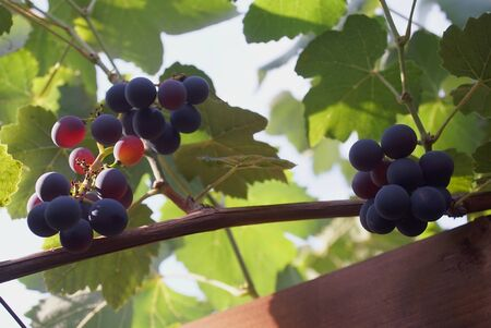 bunch of grapes on the vine Stok Fotoğraf