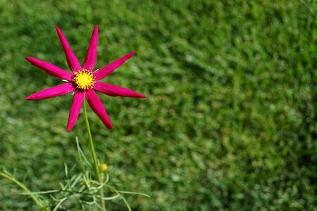 cosmos, red star on grass