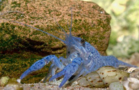 freshwater crayfish blueclaw in a freshwater aquarium