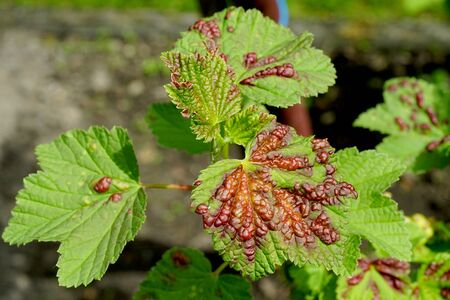 red spots on the currant list damaged by pests Stock Photo