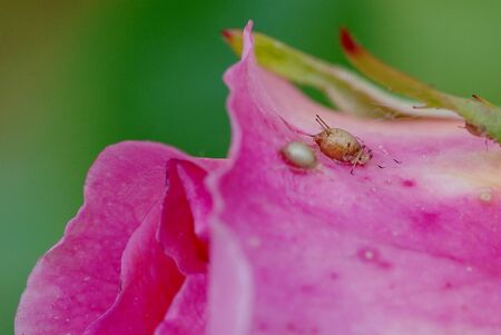 rose flower infected with aphids