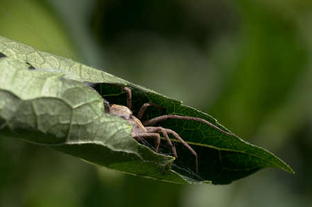 spider hidden in a wrapped leaf Standard-Bild