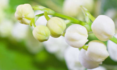 Lily of the valley closeup. Shallow DOF.