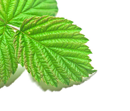 raspberry leaf on a white background Stock Photo