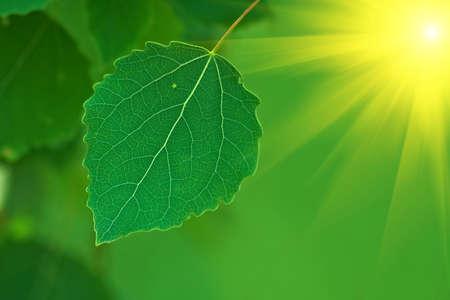 Birch leaves lit bright summer sun Stock Photo