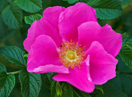 wild rose flower during the summer bloom. Stock Photo
