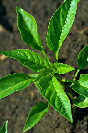 The green leaves of pepper. Nice background. Shallow DOF. Stock Photo