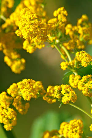 Yellow field flowers. Nice background. Shallow DOF.