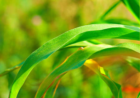 specificity: corn leaves against the backdrop of vegetation in summer Stock Photo