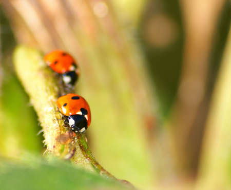 little ledybugs which crawl on the stalk plant