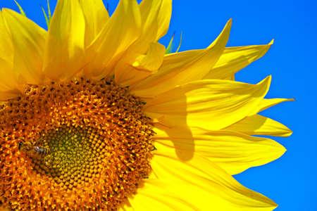 sunflower closeup on a background of blue sky