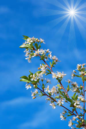 specificity: blossoming cherry on a background of blue sky and bright sun