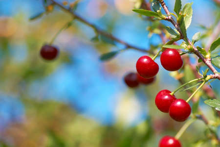 Ripe cherry fruit on the tree. Shallow DOF. Stock Photo
