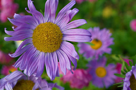 Beautiful blooming asters on a bed. Shallow DOF. Stock Photo