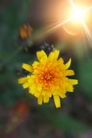 specificity: abstract conceptual image with a yellow field flower and bright rays of light. Shallow DOF.