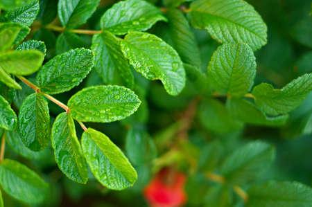 specificity: wet wild rose bush after rain