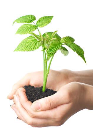 caring hands: jonge plant in handen van de mens. Isolatie op witte achtergrond. Stockfoto