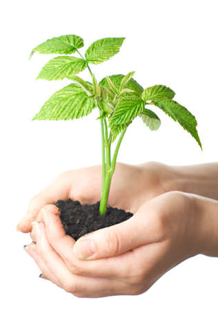 young plant in hands of man. Isolation on white background. Stock Photo