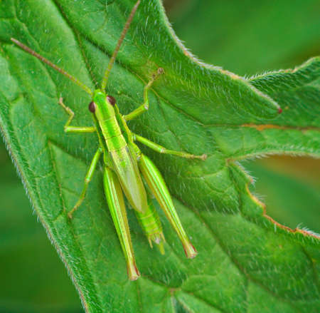 inconspicuous: Big green grasshopper on the leaves of the plant. Macro.