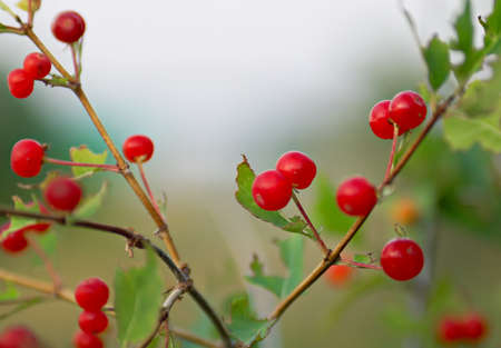 Bright berries very toxic plant, known as