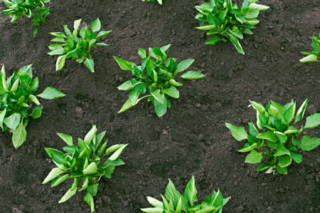 Pepper bushes planted in fertile soil in neat rows Stock Photo - 7714195
