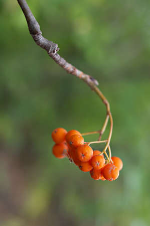 Ash branches with ripe berries. Shallow DOF. Stock Photo - 7783905