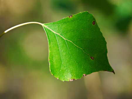specificity: Poplar leaf closeup. Beautiful details of nature in the late summer and early autumn. Stock Photo