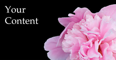 Blooming peony on black background. Very beautiful picture for your background.