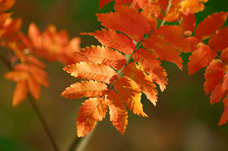 Very beautiful mountain ash leaves red. Picture on the changes in nature in the autumn. Stock Photo