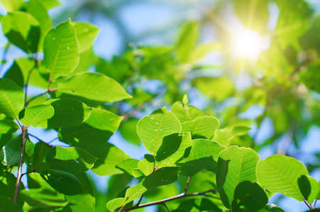 Tree leaves in the sunlight. Bright picture on the theme of seasonal vegetation. Stock Photo