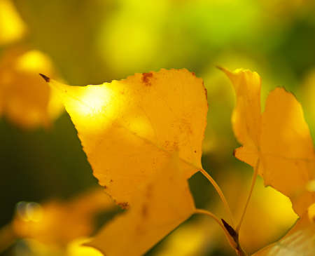 changing seasons: Beautiful yellow leaves of the trees in the autumn season. Very zhivlpisny background on the subject of changing seasons.