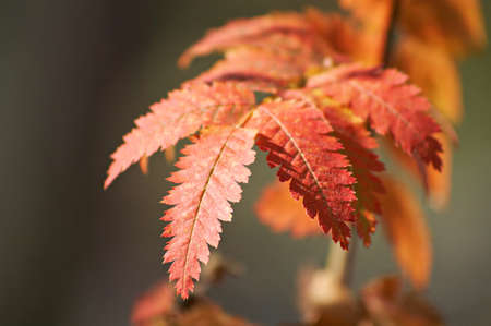 specificity: Very beautiful mountain ash leaves red. Picture on the changes in nature in the autumn. Stock Photo