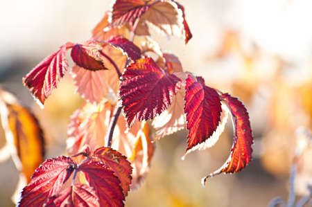 specificity: Covered with frost raspberry leaves. Very nice background on the topic of weather and season. Shallow DOF.