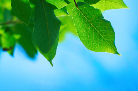 Beautiful green leafs with texture detail in cleaning blue sky Stock Photo - 9131510