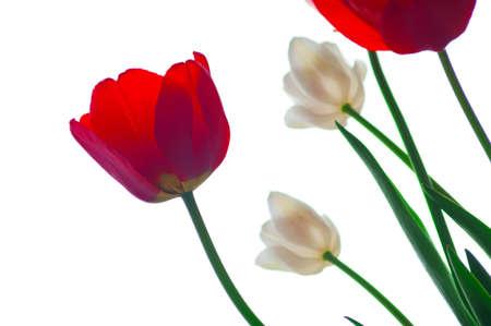 Beautiful tulips on a white background. Isolation on white background. Stock Photo - 9584268