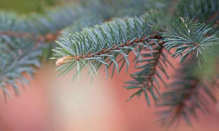 Fur-tree closeup. Shallow DOF. Natural background. Stock Photo - 9685147