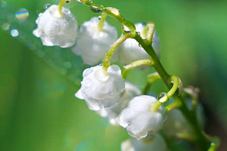 Lily of the valley closeup. Shallow DOF. Stock Photo - 9685144