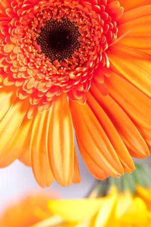 Gerber closeup. Bright flowers, symbolizing the colors of summer. Foto de archivo