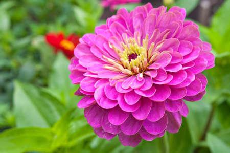 Pink danhila closeup. Summer theme. Foto de archivo