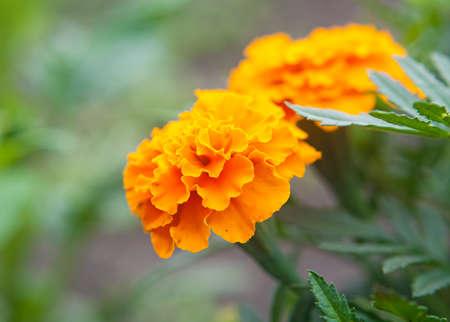 Beautiful orange flowers. Shallow DOF.