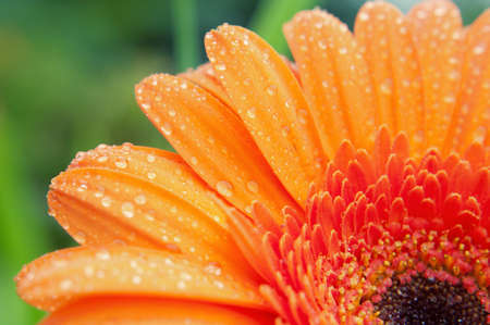 Wet gerbera closeup. Perfect colors. Stock Photo