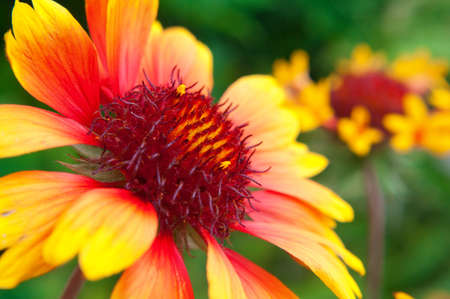 Beautiful red and yellow flower close up. Summer theme.