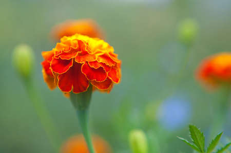 Bright orange flowers on a background of green leaves. The natural theme.