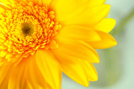 A beautiful yellow gerbera against the background of green plants