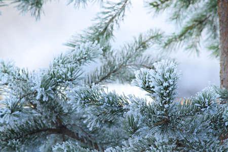 Pine tree in winter closeup. Christmas theme.